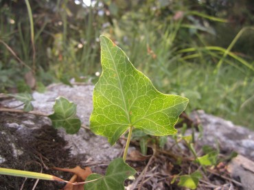Vine in the Himalayas